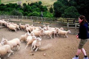 human sheep trials
